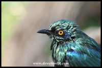 Glossy starling after taking a bath