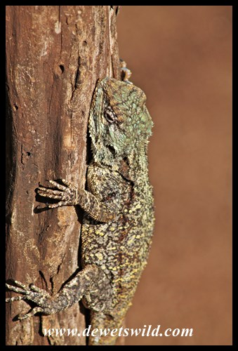 Notice the ant on this agama's leg?