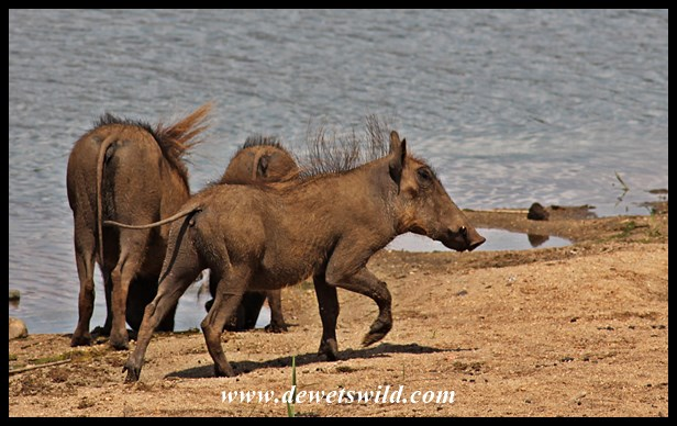 Warthogs drinking from the Sabie