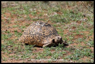 Tortoise enjoying freshly sprouted grass