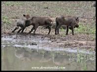 Newborn warthogs