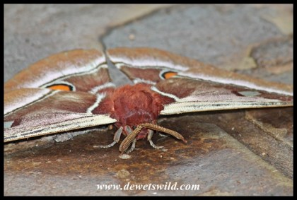 Giant moth at Crocodile Bridge