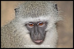 Ample opportunity to enjoy the antics of Skukuza's vervet monkeys