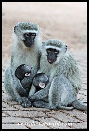 Ample opportunity to enjoy the antics of Skukuza's vervet monkeys