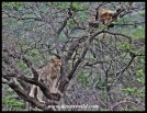 Cubs in the tree (Hluhluwe-Imfolozi 26122014)
