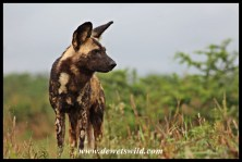 Wild dogs on the hunt (Hluhluwe-Imfolozi 27122014)