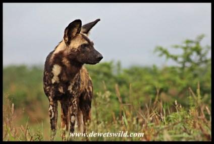 Wild dogs on the hunt (Hluhluwe-Imfolozi 27122014)