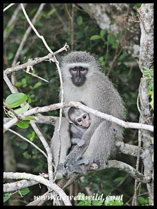 Vervet monkeys hiding from the wet weather (iSimangaliso 22122014)