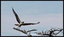 Western Osprey taking flight (iSimangaliso 23122014)
