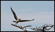 Western Osprey taking flight (iSimangaliso 23122014)