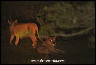 Lions at uMkhuze (18122014)