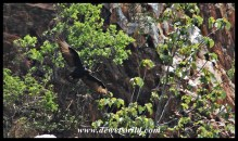 Verreaux's Eagles at Walter Sisulu National Botanical Gardens