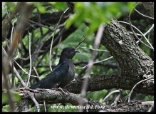 Juvenile Red-Chested Cuckoo