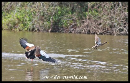 Egyptian Goose on the attack