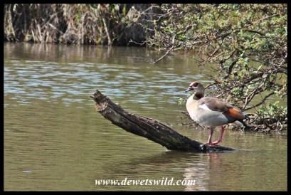 Very pleased Egyptian Goose