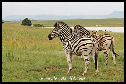 Plains zebra