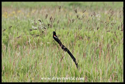 Long-tailed widowbird