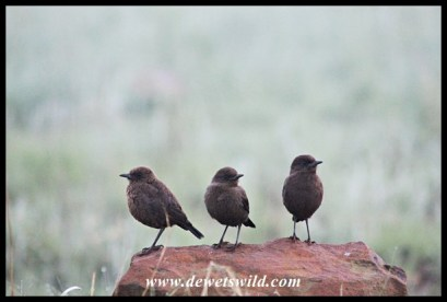 Anteating chats