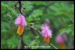 Sickle Bush flowers