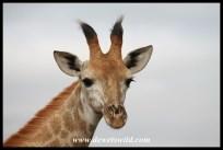 Juvenile giraffe