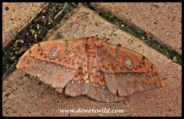 (Unidentified) Emperor Moth