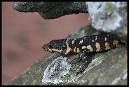 Barberton Girdled Lizard