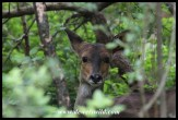 Shy bushbuck ewe