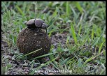 Dung beetle with his bounty