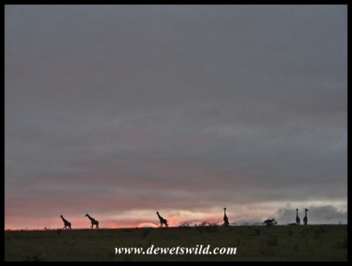 Giraffes on the horizon