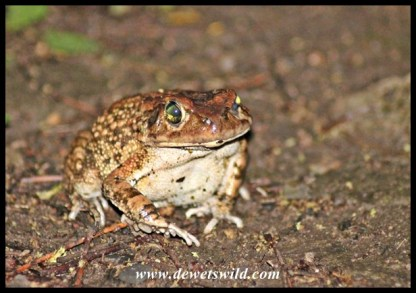 Eastern Olive Toad