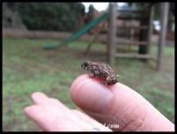 Tiny Raucous Toad