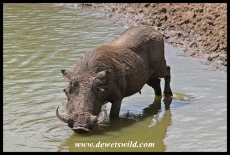 Warthog spa treatment