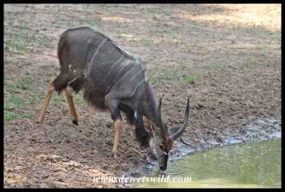 Nyalas are very common patrons at Kumasinga