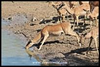 Nervous impala