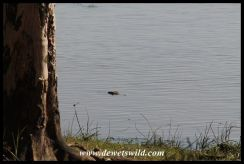 Crocodile lurking in the water