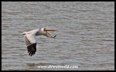 Pink-backed Pelican in flight