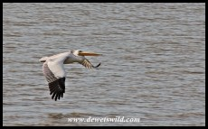 Pink-backed Pelican in flight