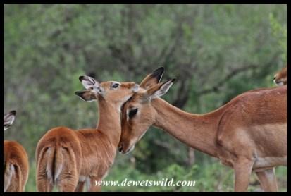 Impala ewe and lamb