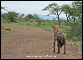 The story of the (over) ambitious hyena