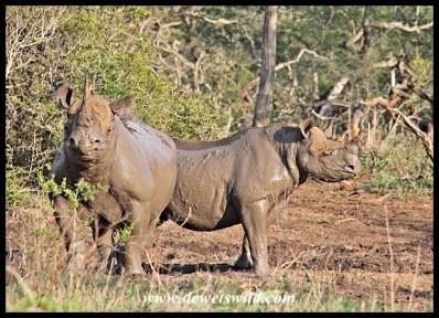 Black rhino at a mud wallow