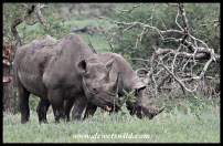 Black rhinos in feeding mode