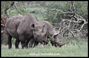 Black rhinos in feeding mode