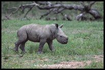 The tiniest baby rhino we've ever seen