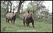 Black rhinos in an aggressive mood
