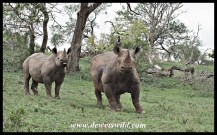 Black rhinos in an aggressive mood