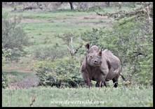 Attentive black rhino