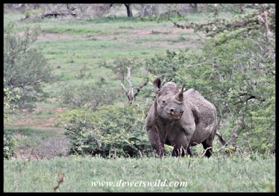 Attentive black rhino