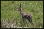 Southern Reedbuck are extremely common around Lake Saint Lucia