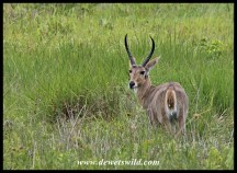 Adult reedbuck ram