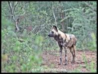 Wild Dog on the hunt